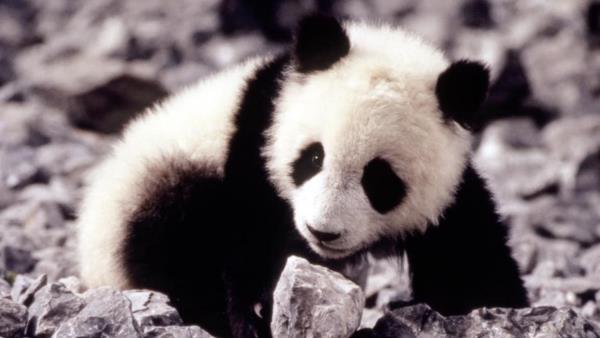 the-amazing-panda-adventure