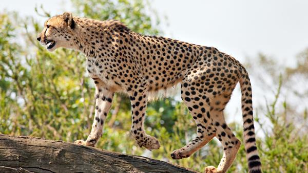 gepard-1989