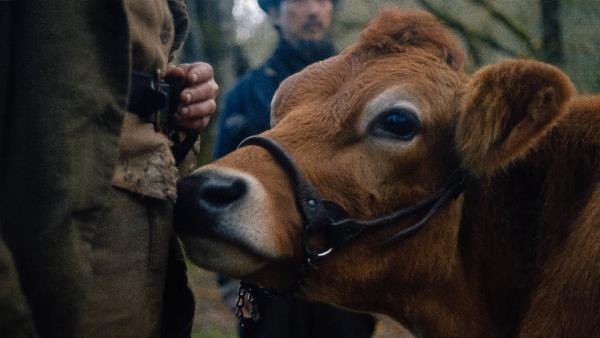 První kráva