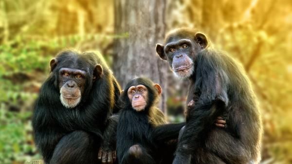 meet-the-chimps
