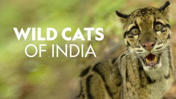 wild-cats-of-india