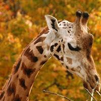 Camelopardus Giraffa