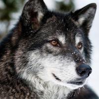 Statečný Vlk